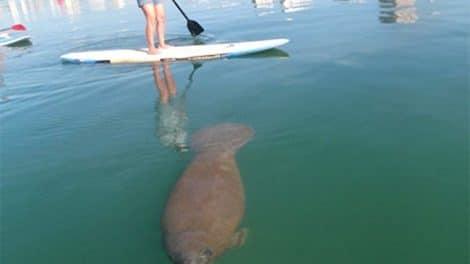 Rencontre stand up paddle avec un lamantin !