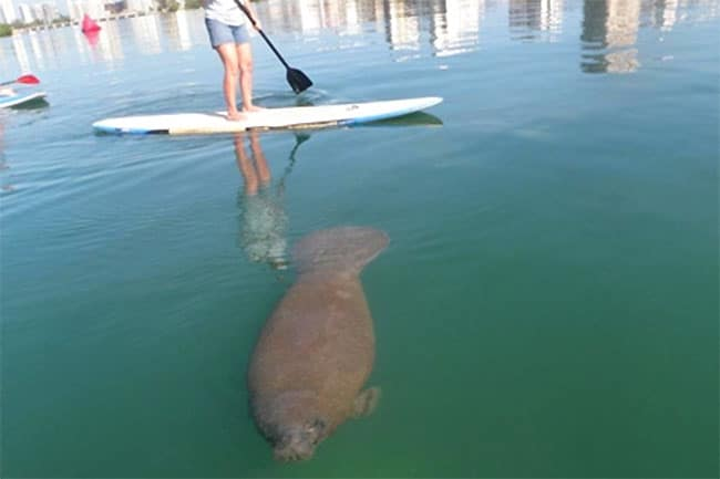 Rencontre stand up paddle avec un lamantin !
