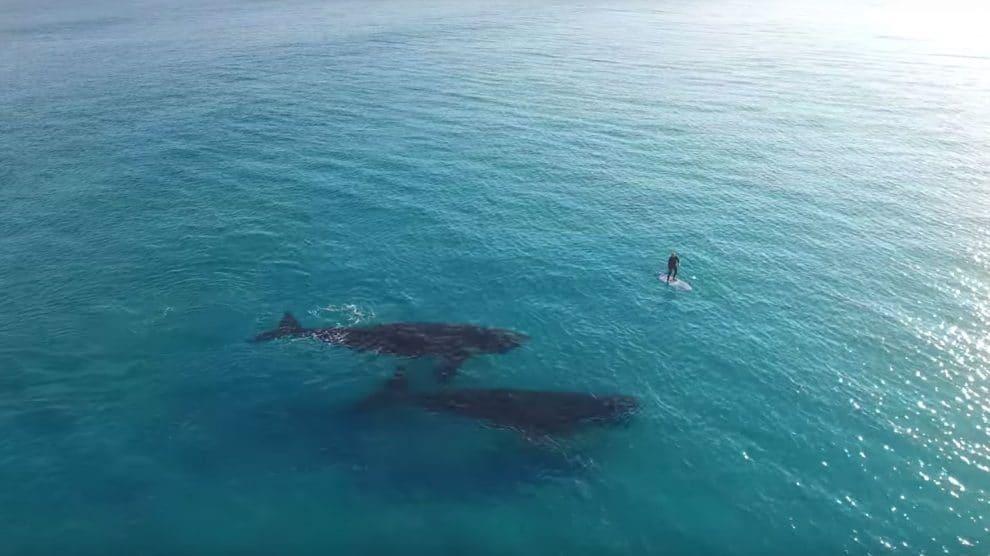 Des baleines s'approchent d'un stand up paddle