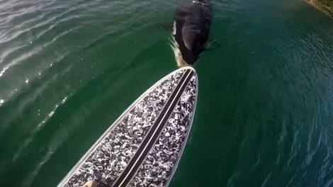 Vidéo d'un orque qui croque un stand up paddle !