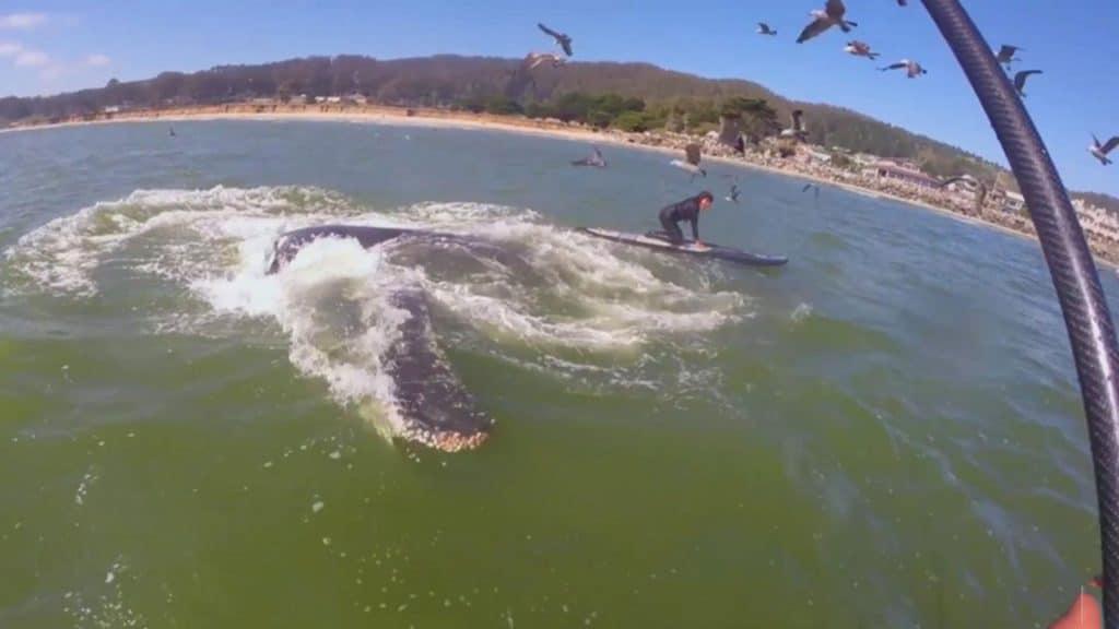 Une baleine et un paddle font le buzz sur le net !