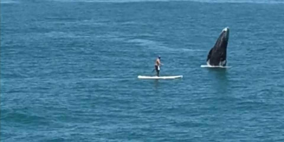 Surpris par une baleine en stand up paddle