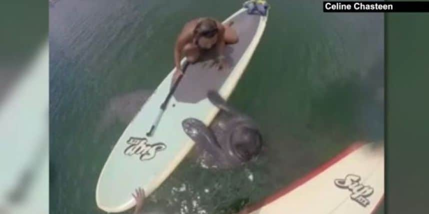 Tranquille sur son stand up paddle, un lamantin la rejoint !