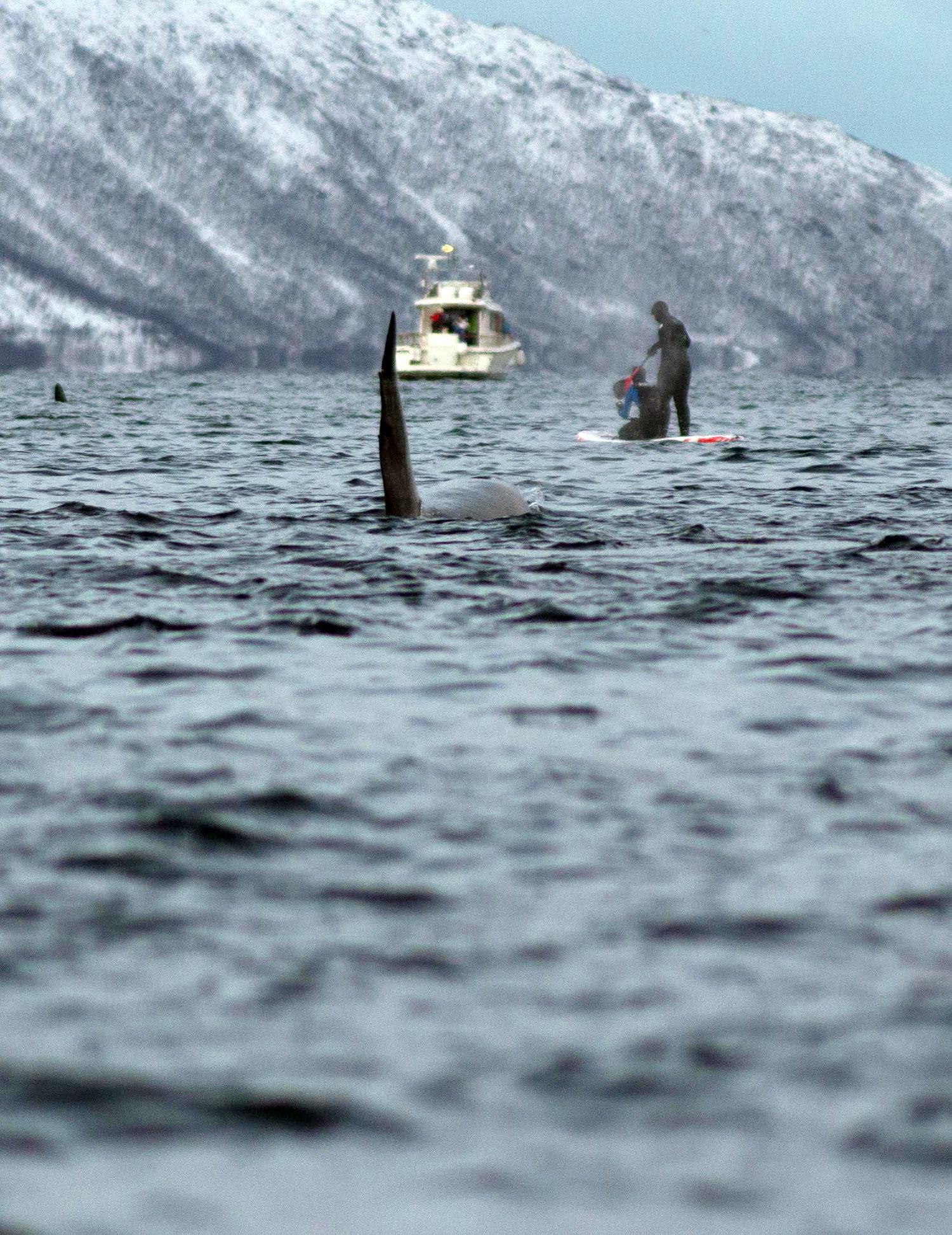 Stand up paddle avec des orques et des baleines en Norvège