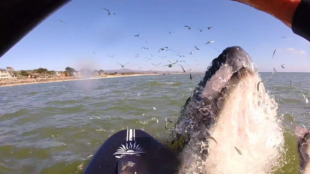Vidéo d'une rencontre entre des stand up paddle et des baleines
