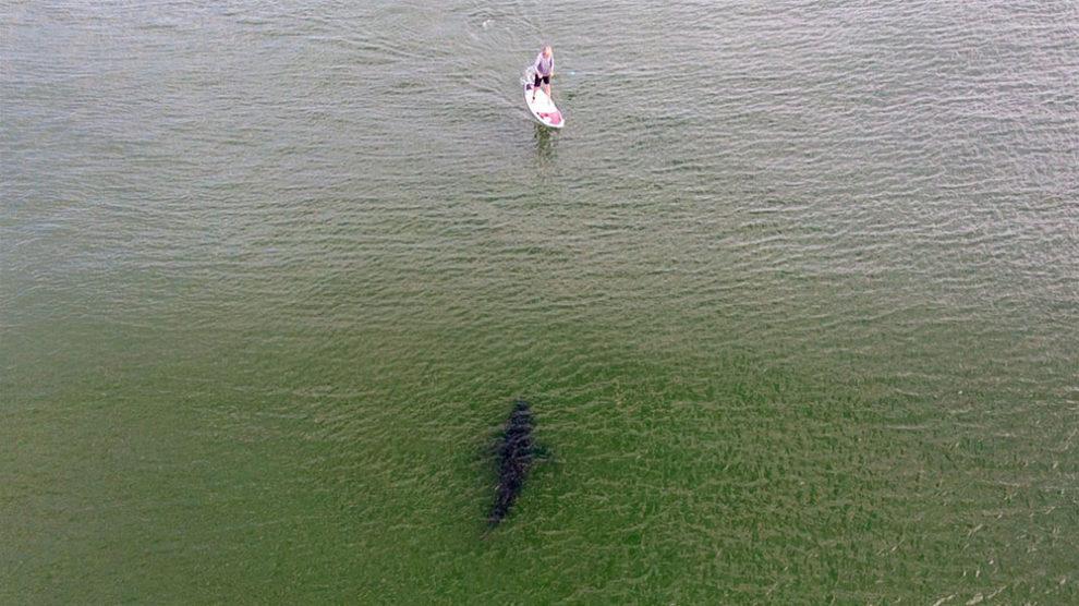 Il est pris en chasse par un requin sur son stand up paddle